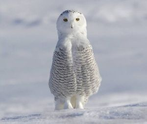 Snow owl by strongfeather