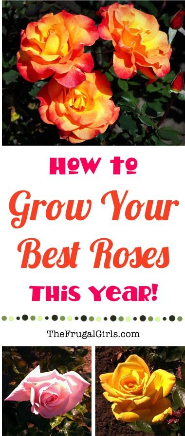 Rose Garden Ideas!  How to Grow your BEST Roses this Year!  Everything you need to know about Rose Gardening, including a HUGE list of tips and tricks that yield the most beautiful blooms! | TheFrugalGirls.com
