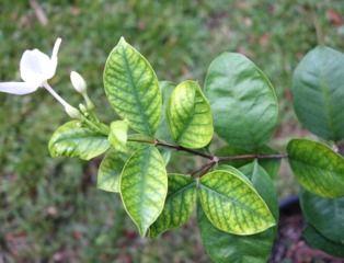 Chlorose des feuilles : carence en fer