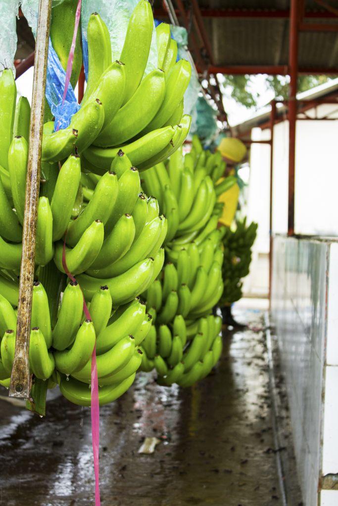 Proceso del banano | Andres Alvarez