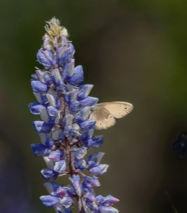 Wind Wolves:  Butterfly on Lupine by Wayne Wong on Capture Kern County // We stopped at a roadside access to a patch of lupine ensconced on a hillside.  Every once in a while, light colored butterflies would flit across the patch at lightning speed.  I only got one chance at one as it landed on a lupine at some distance.  This crop captures the butterfly, and while the detail is diminished by the extreme cropping, it was better than getting nothing at all.