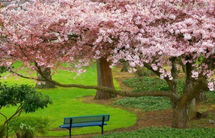 Cherry Trees, Bremerton, Washington. -