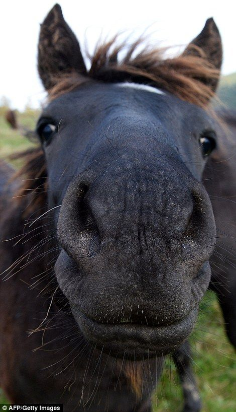 A Hucul pony offers its flaring nostrils to the camera in south east Poland.