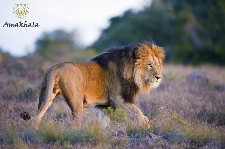 Amakhala Game Reserves majestic lion taking a stroll.