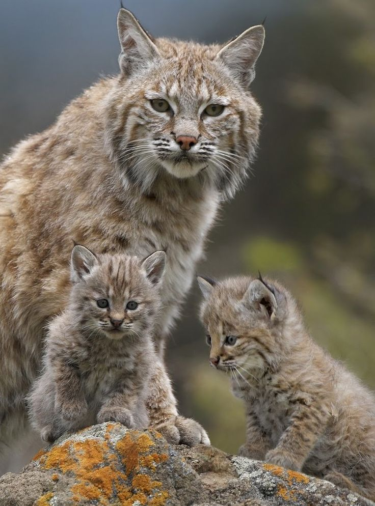Bobcat queen and kittens