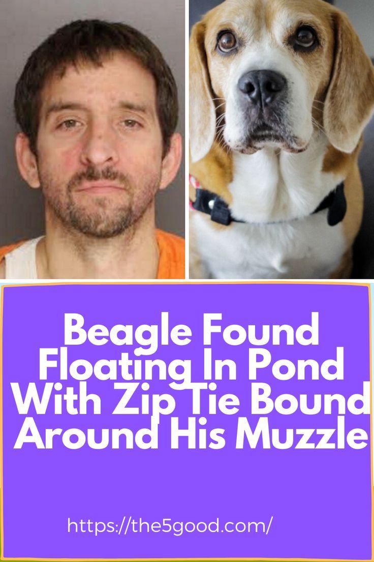 Beagle Found Floating In Pond With Zip Tie Bound Around