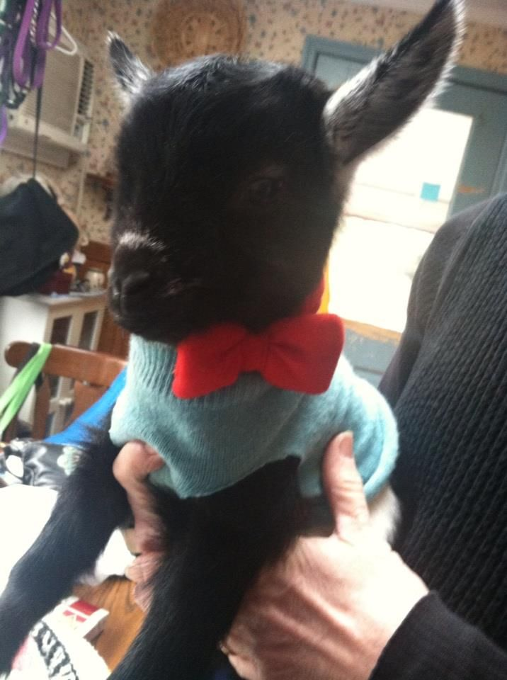 not dogs in sweaters, but for some reason goats can pull them off