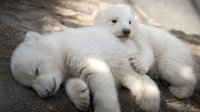 A 14-wk. old polar bear makes her 1st trip outside with her Mom in Hellabrunn Zoo in Munich, Germany