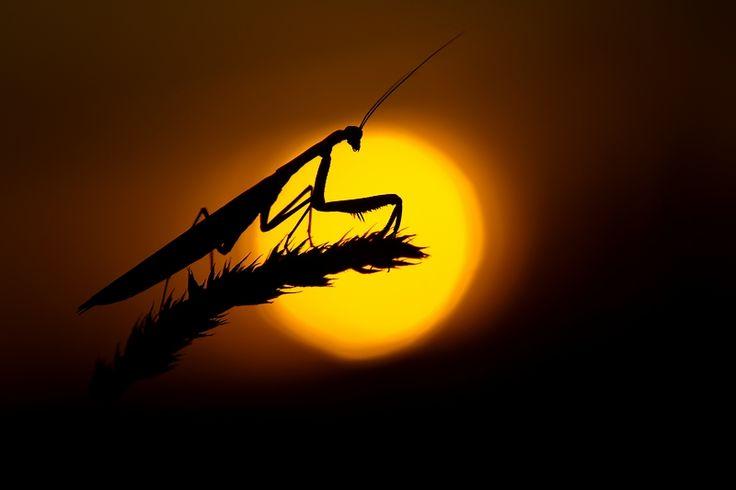 mantis: Beautiful Beast, Mantis Kung, Beautiful Bugs, Praying Mantis Both, Bugs Life, Mantis Both Kind, Beautiful Pictures, Favorite Photography, Favorite Spaces