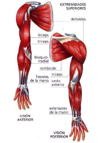 musculos de la parte anterior y posterior del brazo para colorear - Buscar con Google