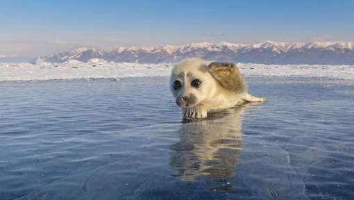 Toen natuurfotograaf Alexey Trofimov (45) deze überschattige zeehondenpup opmerkte op het bevroren oppervlak van het Baikalmeer in Rusland, aarzelde ...
