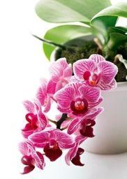 Как реанимировать орхидею - Садоводка