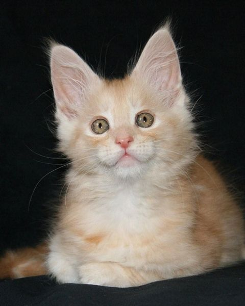 Maine Coon kittens. Sanyo of Shadowlady. Photo by #corryVenema of cattery Shadowlady