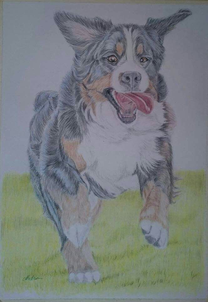Bernese Mountain dog - colored pencil on paper
