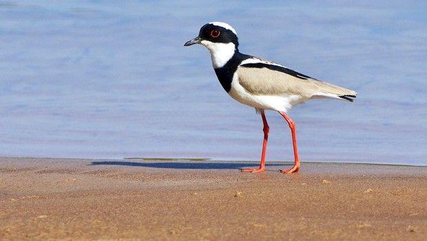Essa ave vive em praias arenosas de grandes rios (principalmente da Amazônia)…