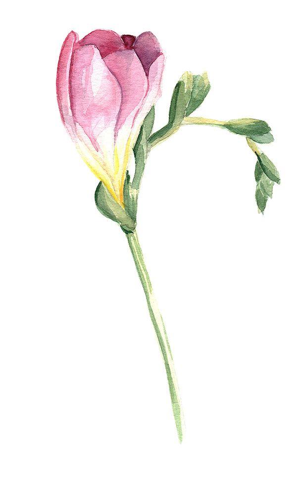 Watercolour pink freesia flower by Daria Menshakova, via Behance