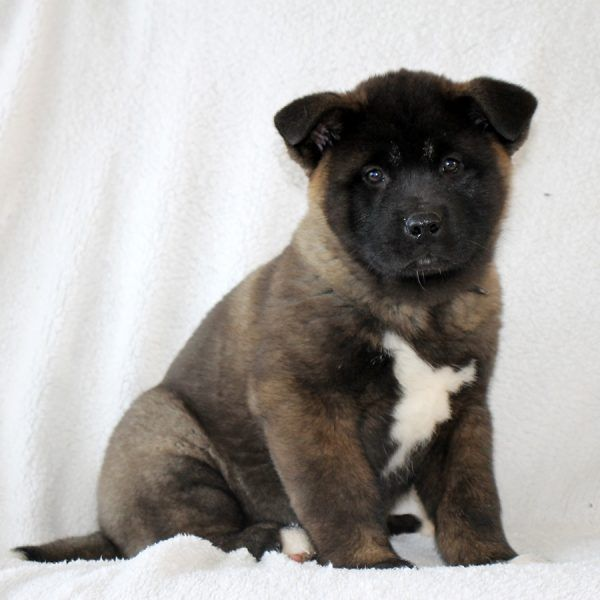 Amy Akita Puppy For Sale In Pennsylvania Akita Puppies For