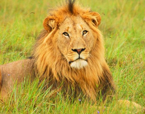 30 Ferocious Yet Engaging Lion Pictures | Naldz Graphics