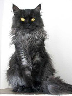 , hodowla kotow, koty, koty rasowe, maine coon cats, Chicago cattery, Maine Coon cats in Chicago, Maine Coons in Chicago, IL