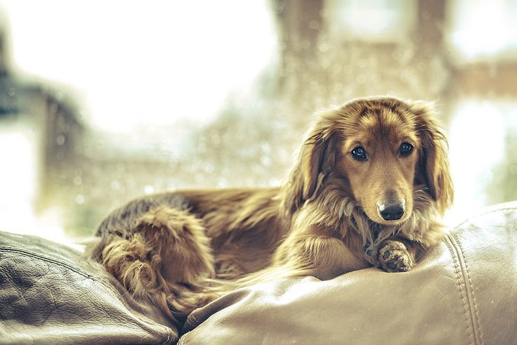 ... Dachshunds on Pinterest | Long Haired Dachshund, Dachshund and English