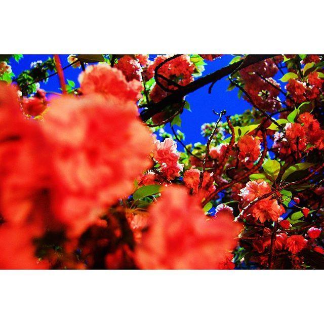 【moripi13】さんのInstagramをピンしています。 《確か桜の通り抜けの時かな シャッタースピード遅くして、固定で撮ったら変なの撮れたやつ 大阪時代は常に一眼レフ持ち歩いてたなー #osaka #写真整理中 #tbt #instagood #桜 #写真好きな人と繋がりたい #nikon #d40 #東京カメラ部 #flowers》