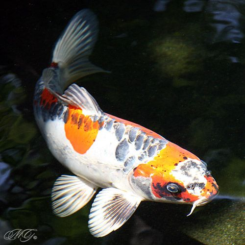 Best 25 koi carp ideas on pinterest koi koi painting for Mini carpe koi
