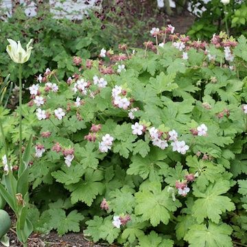 SHADE ground cover -all green- pretty leaves almost maple leaf shape -Geranium macrorrhizum 'Spessart' Flocknäva