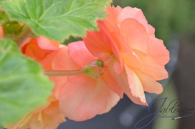 Zdjęcie tygodnia - robaczek na begonii
