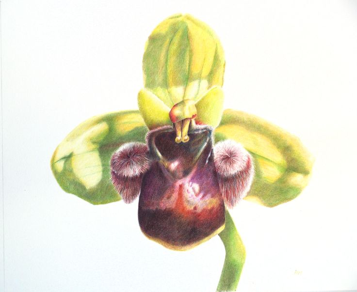 Bumblebee orchid