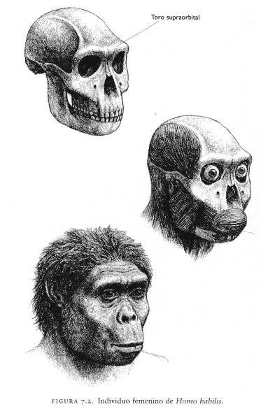 HOMO HABILIS CARACTERÍSTICA CRANEO: -Cráneo redondeado. -Incisivos espadiformes, muy grandes, más grandes que los australopitecinos. -Premolares más delgados y elongados que Australopithecus. -Molares grandes y con esmalte grueso. -Ausencia de diastema. -Foramen magnum ubicado más hacia el centro. - Cara corta.