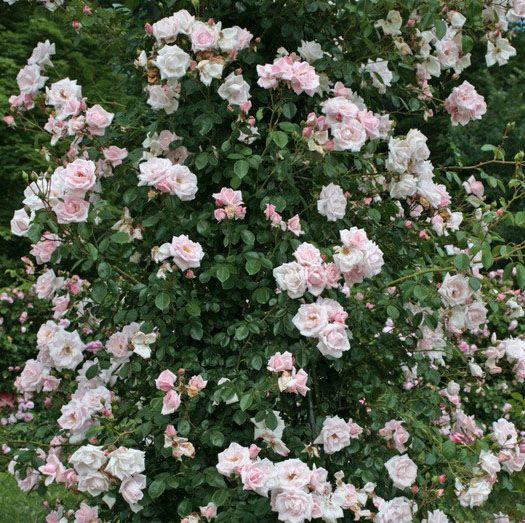 New Dawn®. Roze naar wit verbloeiende klimroos.Goed doorbloeiend met geurende bloemen.Stevige, gezonde groeier met mooi donkergroenblad. Zeer winterhard.