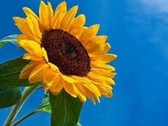 Sunflowers symbolize spiritual faith, longevity, loyalty and good luck