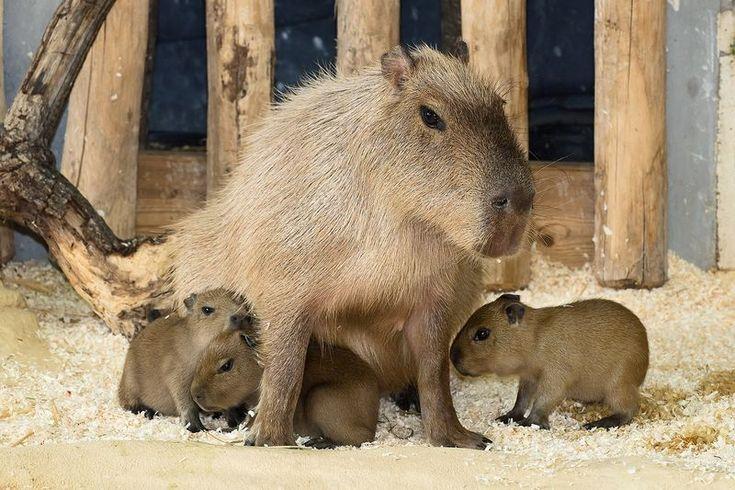 Capybaras at the Schonbrunn Zoo