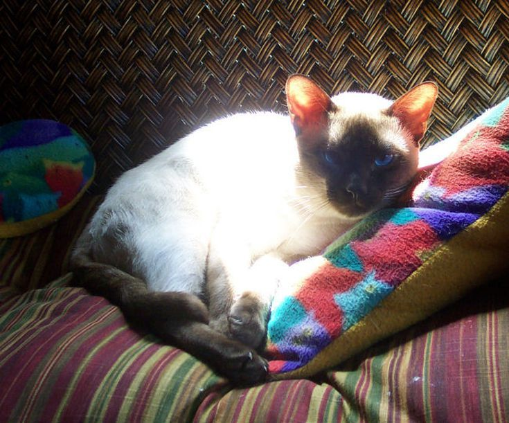 25 Stunning Siamese Cats And Their Quirks Siamese Cats Cat Pics