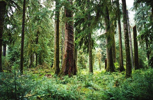 Washington's Olympic National Park  Forest -- Quinault Rainforest