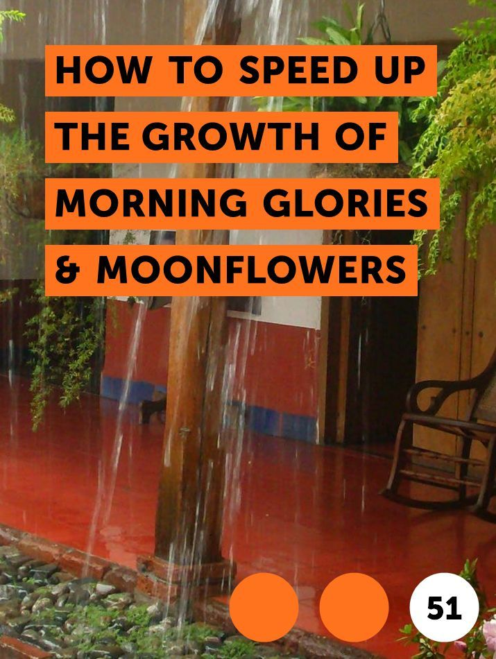 Learn How To Speed Up The Growth Of Morning Glories Moonflowers How To Guides Tips And Tricks Morning Glory Flowers Florida Plants Small Vegetable Gardens