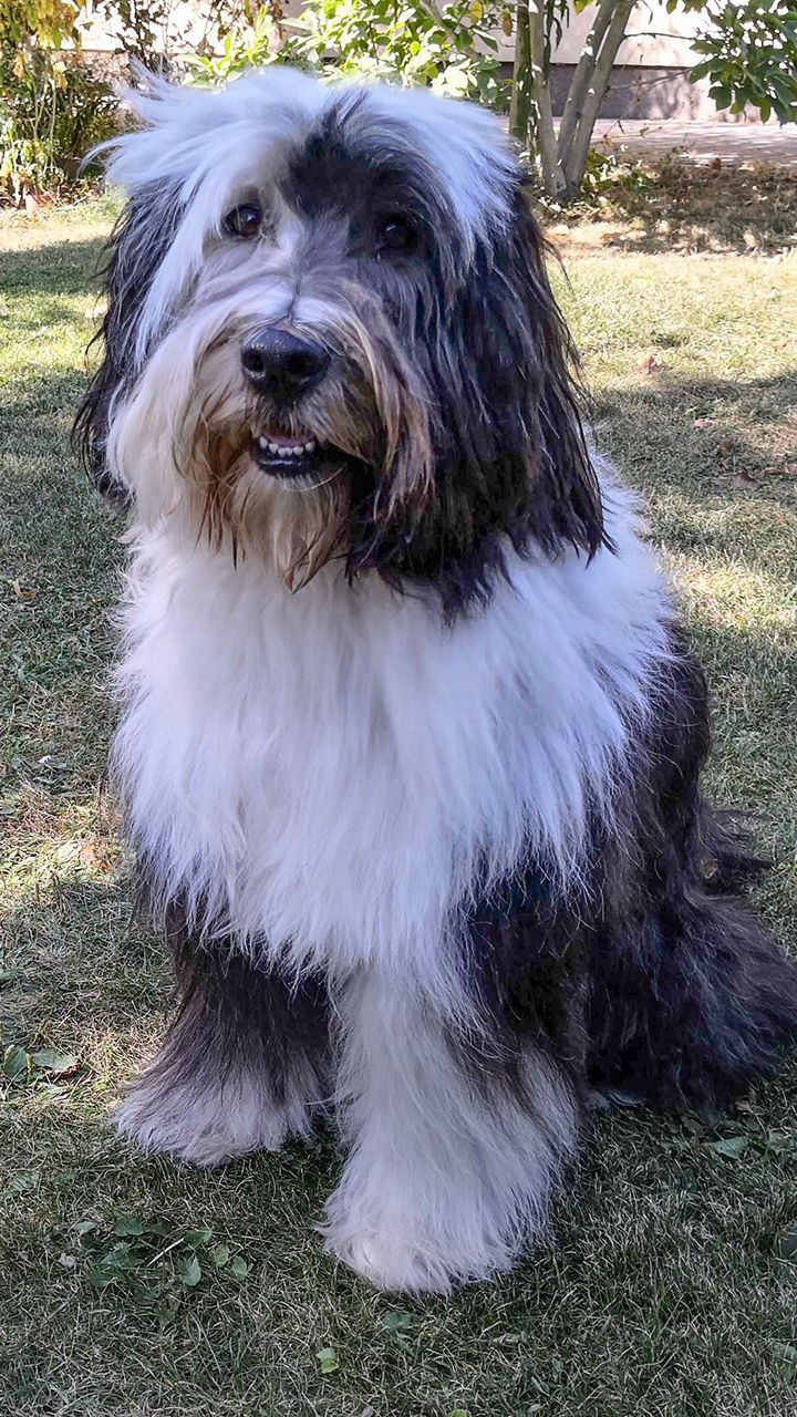 Name Willi Alter 5 Jahre Rasse Tibet Terrier In 2020 Hunde Spitz Welpen Tibet Terrier