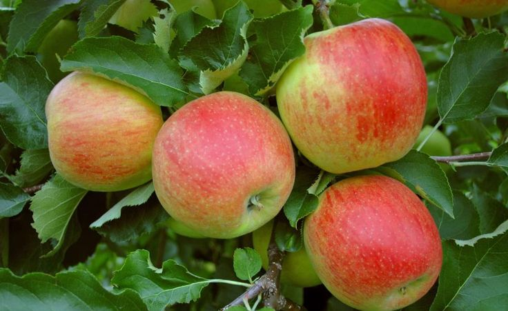 'Alkmene' ist eine robuste Apfelsorte mit geringen Bodenansprüchen und sehr gutem Aroma