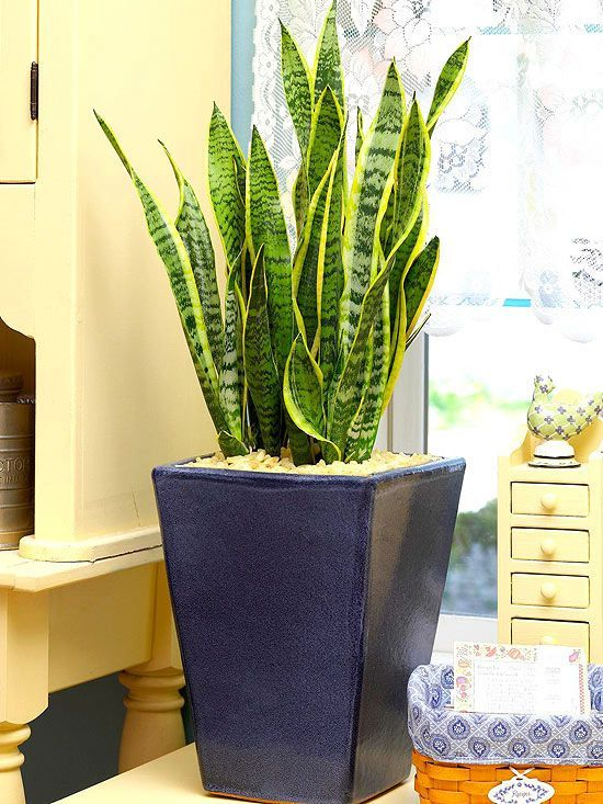 Snake plant is a winner in low-maintenance situations. Silvery striations mottle the green swordlike leaves that stand at attention, making it a perfect plant for a vertical corner focal point in the bedroom. Snake plant is a succulent and can take low-moisture situations.