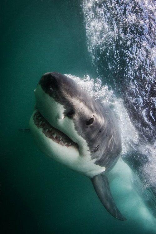wolverxne: kghawke: wolverxne: Great White Shark - by: { Morne Hardenberg } THE most terrifying animal on the planet. The most terrifying animals on this planet are humans.