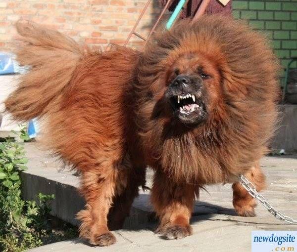 tibetan mastiff puppy | red tibetan mastiff 201123201611156778023 jpg