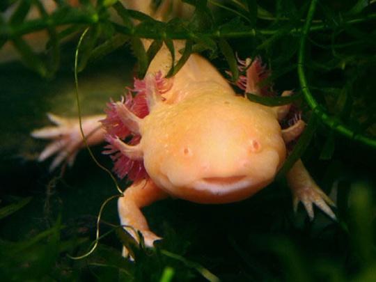 Unusual Aquatic Pets : ... aquatic. According to CBS affiliate WDBJ, axolotls can re-grow most of
