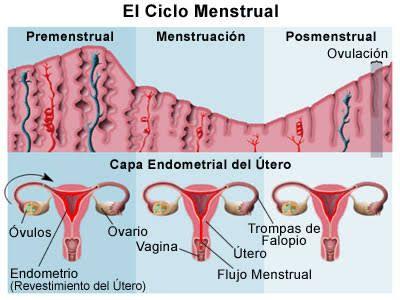 Fases del ciclo menstrual:  Mestruacion: Periodo durante el cual el utero se libera de sus celulas de recubrimiento, esa sangre menstrual fluye desde el cuello uterino y sale por la vagina. Dura de 3 a 6 dias.  Preovulacion: El ovario produce hormonas llamadas estrogenos, hacen que los ovulos que se hallen en su interior maduren. Dura de 6 a 13 dias.