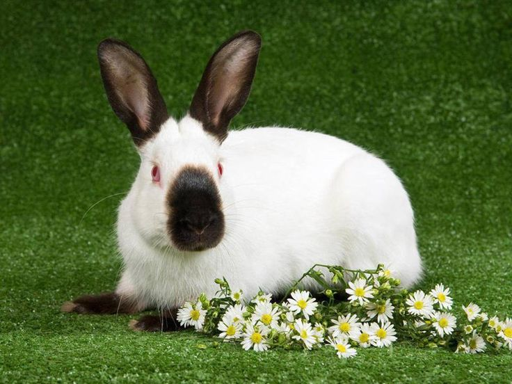 The Himalyan rabbit is the ancestor of the Californian White breeds of rabbit. They are known as one of the oldest and calmest breed of rabbits. The ideal weight is 3.5 kilograms where an adult varies from 2.5 to 4.5 kilograms. #PetPoolWarehouse #RabbitBreeds