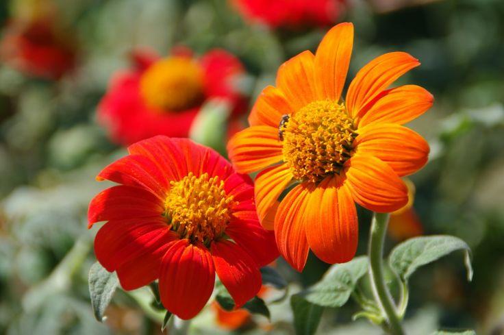 Титония, или Мексиканский подсолнух. Посадка, уход, выращивание. Фото - Ботаничка.ru