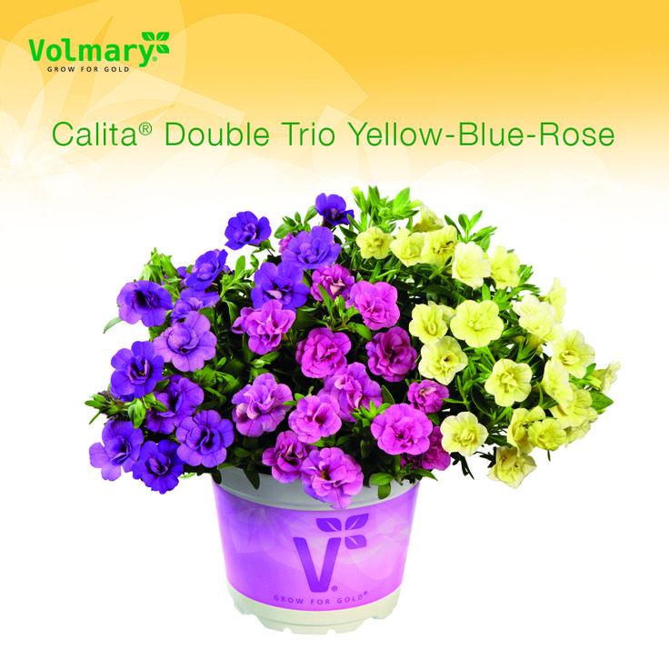 Japaninkello 'Calita Double Trio Yellow-Blue-Rose'