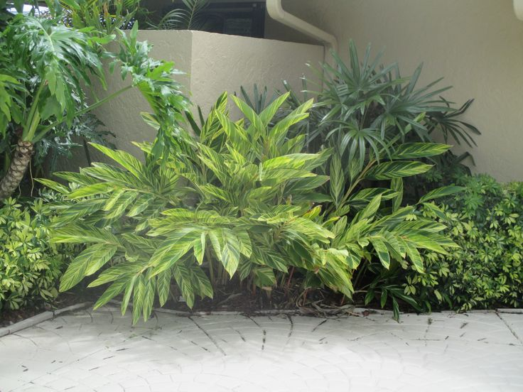 Verigated Ginger, (with Lady Palm behind it on right side in corner), Universal Landscape, Inc. www.universaldevgroup.com