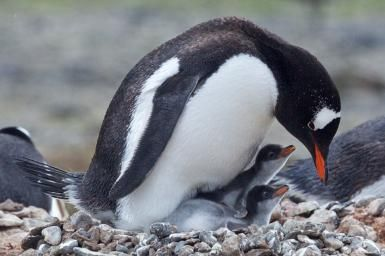 Can You Name All the Penguin Species?: Gentoo penguins are a type of brushtail penguin.