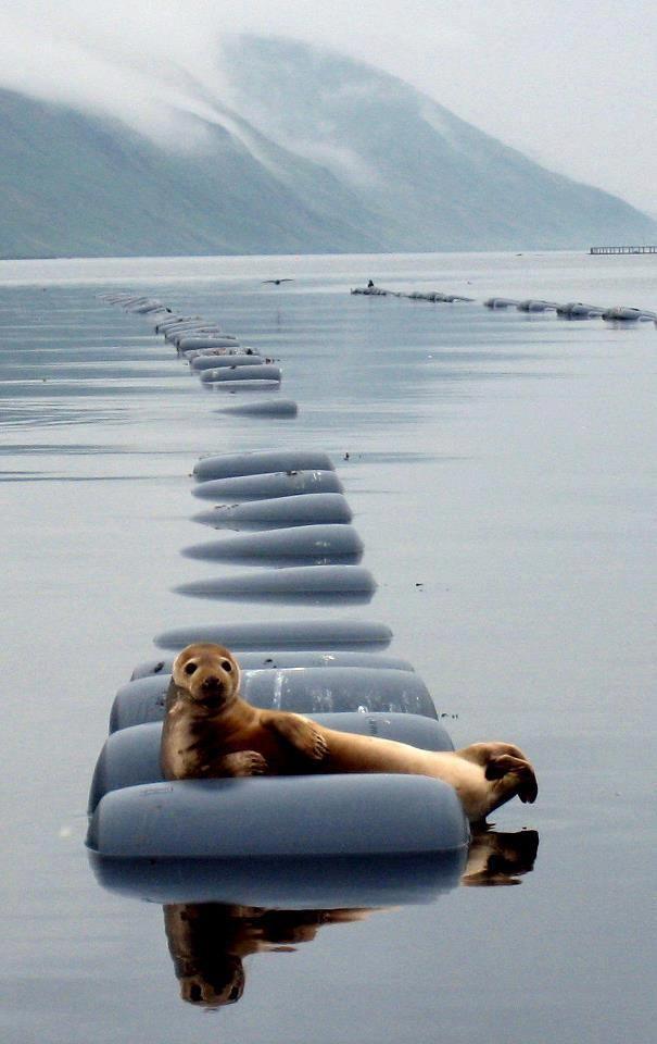 seal relaxing in shetland, scotland