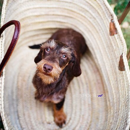 Make Massive Change To Your Dachshund S Behaviour In Just 1 Day